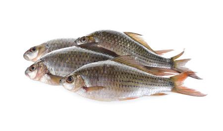 siamensis: group of Labiobarbus siamensis fish on white background
