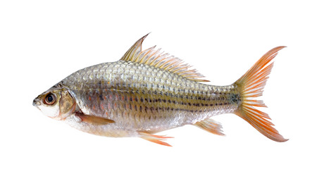 siamensis: uncooked Labiobarbus siamensis fish on white background Stock Photo