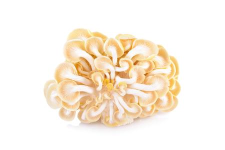 gill: back side fresh golden oyster mushroom on white background