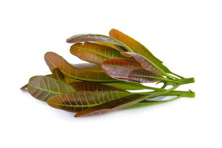 Cashew nut leaves (edible leaf) on white background Stock Photo