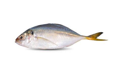 whole round fresh horse mackerel on white background 版權商用圖片