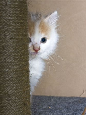 Small white kitten hiding behind scratching pole photo