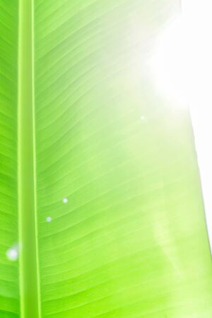 Leaf of a banana palm trees photographed in backlight sunlight. The bright summer sun. Banana palm leaf texture. Uniformly green natural background. Shot in the sunlight.