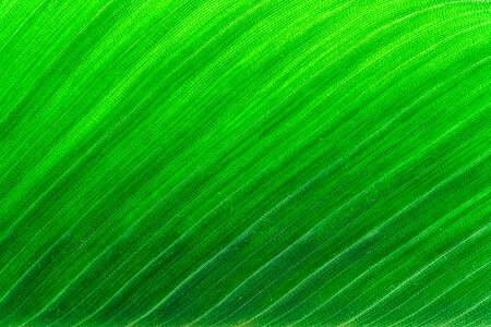 Banana palm leaf texture. Uniformly green natural background. Shot in the sunlight.