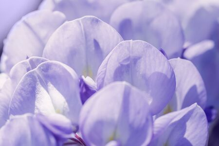 Image of petals lilac Wisteria close-up shot. Artistic nature wallpaper lilac background with purple flowers wisteria. Blossoming wistaria branch in an orchard.