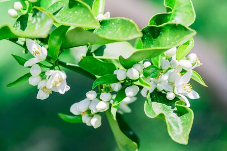 Image of a green branch with white flowers of a flowering orange tree, close-up shot. Blooming orange tree on a vegetative blurred background in spring Foto de archivo - 137894628