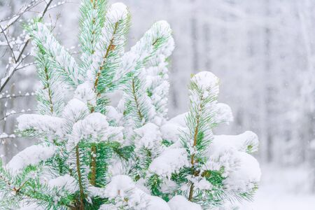 Pine branches covered with snow. Snowfall in the forest. White snow trees. The silence of the winter forest. Winter fairy tale. Christmas mood. Foto de archivo - 137894505