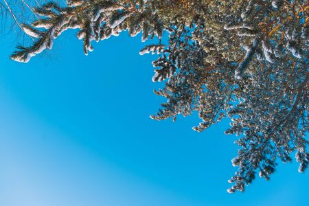 Snow-covered pine branches over blue sky background. Frosty Sunny day in the forest.