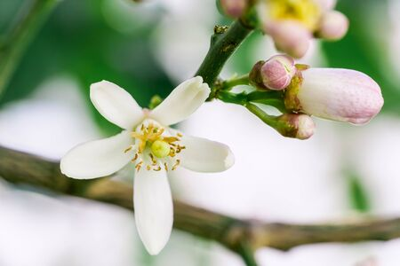 Pink-white flowers of orange tree over the background of green leaves, close-up shot. Orange tree blossoming flowering in spring Foto de archivo - 137894783