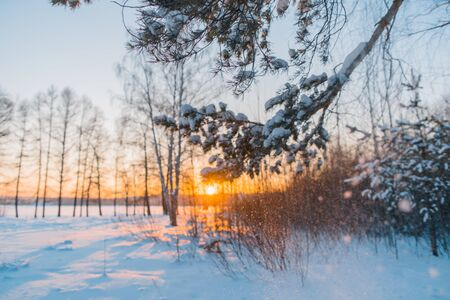 Winter forest at sunset. Snowflakes fall from a pine branch. Snow sparkles in the sun
