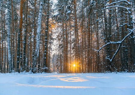 Sun shines through the tree trunks in the snow-covered forest. Branches of pines are covered with fluffy snow. Sunset in the winter forest in the sun.  Stock fotó