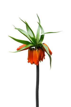 Orange flower on white background