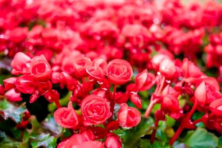 Beautiful background of flowers big begonias photo