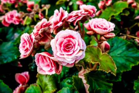 Beautiful background of flowers big begonias photo