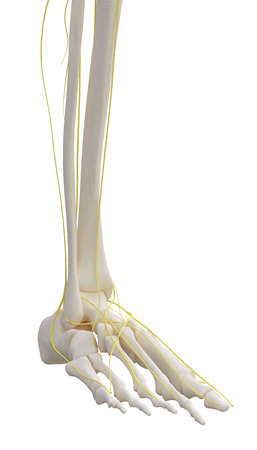 peripheral nerve: Left leg skeleton with nervous isolated on white.