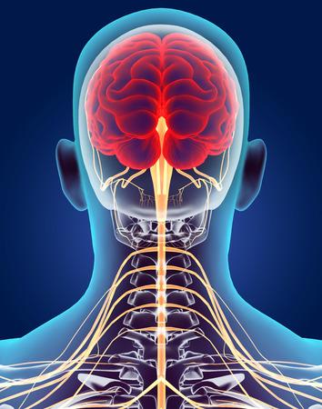 3D-Darstellung männliche Nervensystem, medizinisches Konzept.