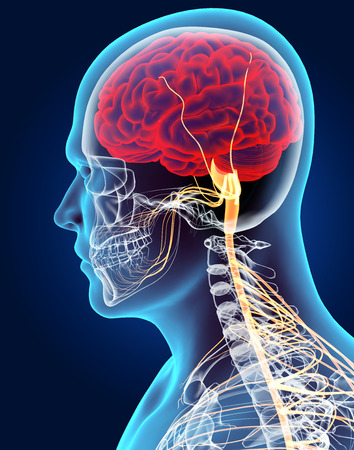 nerve signals: 3D illustration male nervous system, medical concept. Stock Photo