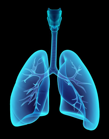 bronchi: 3D illustration X-ray transparent lungs, medical concept.