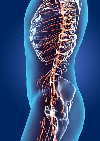 medical illustration: 3D illustration male nervous system, medical concept. Stock Photo