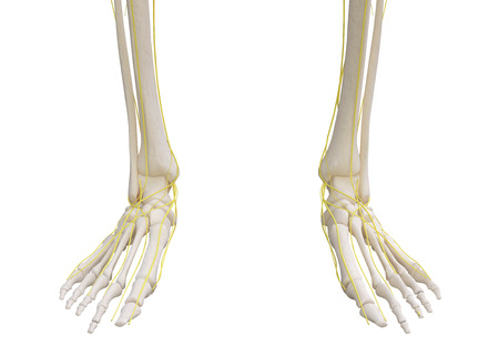 peripheral nerve: Feet skeleton with nervous system isolated on white. Stock Photo