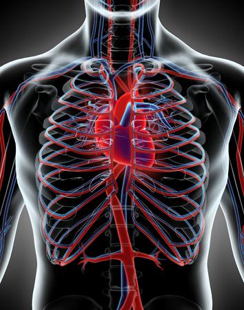 cardio: Human Internal System - Circulatory System, medical concept. Stock Photo