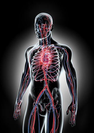 ventricle: Human Internal System - Circulatory System, medical concept. Stock Photo