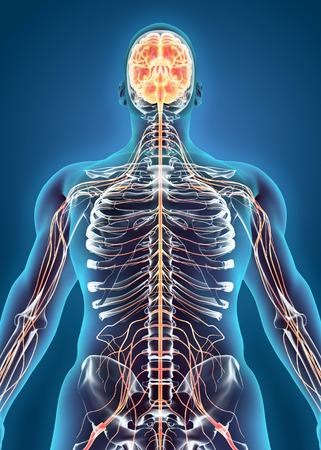 sistema nervioso central: Sistema interno humano - Sistema nervioso, concepto médico. Foto de archivo
