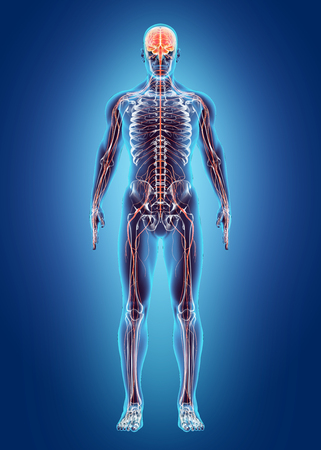 sistema nervioso: Sistema interno humano - Sistema nervioso, concepto médico. Foto de archivo