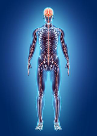 nerveux: Système interne humain - Système nerveux, concept médical. Banque d'images