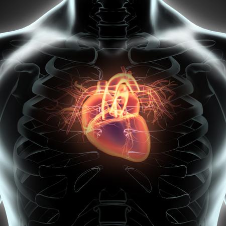human vein  heartbeat: Human Internal Organic - Human Heart, medical concept.