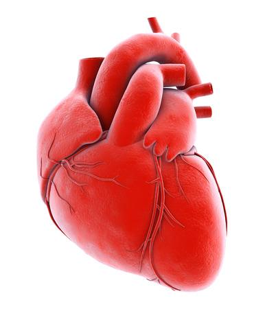ventricle: Human Internal Organic - Human Heart, medical concept.