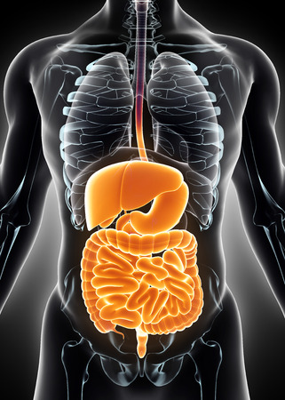 small intestines: 3D human male x-ray digestive system, medical concept.
