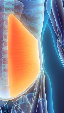 abdominis: 3D illustration of Obliquus Internus, Part of Muscle Anatomy. Stock Photo
