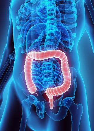 intestino grueso: Ilustraci�n 3D del intestino grueso, parte del aparato digestivo.