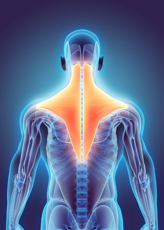 trapezius: 3D illustration of Trapezius, Part of Muscle Anatomy.