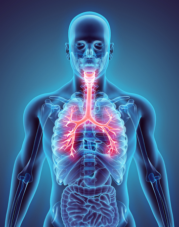 trachea: 3D illustration of Larynx Trachea Bronchi Part of Respiratory System. Stock Photo