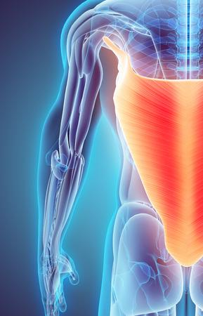 dorsi: 3D illustration of Latissimus Dorsi, Part of Muscle Anatomy.