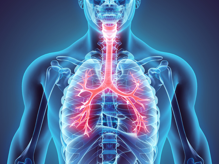 3D illustratie van Larynx Trachea Bronchi Een deel van de ademhalingswegen.