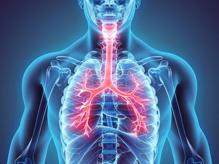 bronchioles: 3D illustration of Larynx Trachea Bronchi Part of Respiratory System. Stock Photo