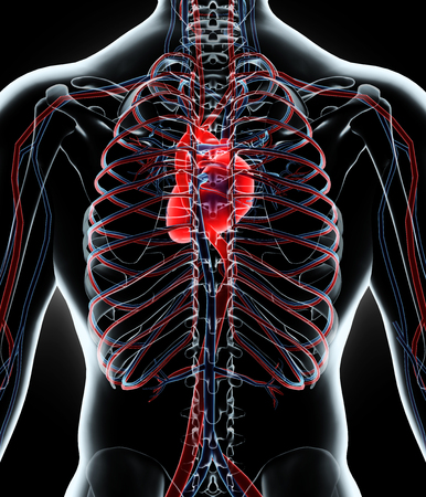 circulatory: Human Internal System - Circulatory System, 3D illustration.