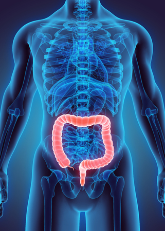 appendix: 3D illustration of Large Intestine, Part of Digestive System.