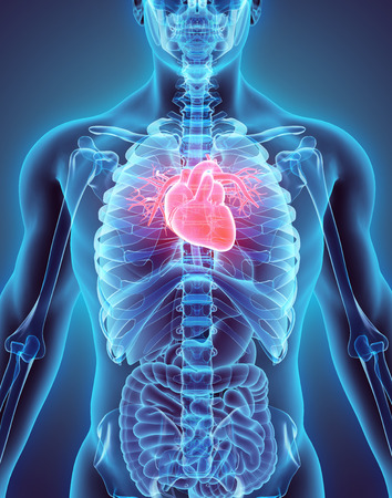human vein  heartbeat: 3D illustration of Heart - Part of Human Organic.