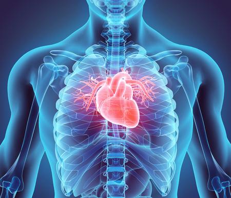 corazon: Ilustración 3D del corazón - Parte de Orgánica humano. Foto de archivo