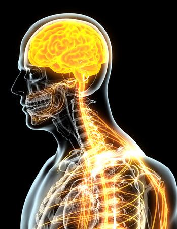 central cord: 3D illustration male nervous system, medical concept. Stock Photo