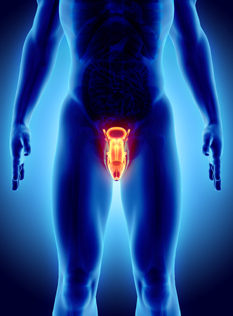 aparato reproductor: sistema reproductor masculino - 3d ilustración concepto médico.