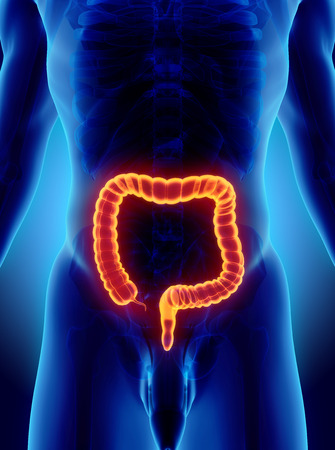 small bowel: 3D illustration of Large Intestine, Part of Digestive System.