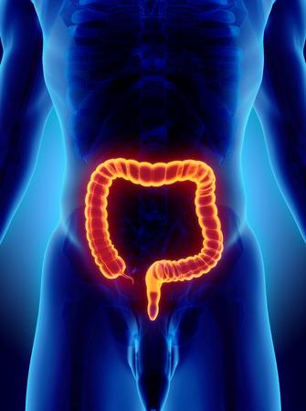large intestine: Ilustraci�n 3D del intestino grueso, parte del aparato digestivo.
