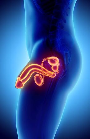 uretra: sistema reproductor masculino - 3d ilustración concepto médico.