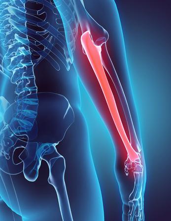 wrist joint: 3D illustration of Ulna - Part of Human Skeleton.