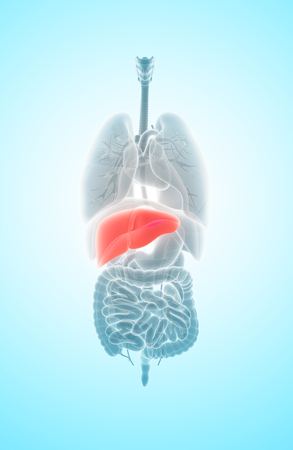 cirrhosis: 3D illustration of Liver - Part of Digestive System. Stock Photo